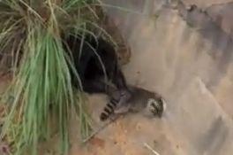 Chimp to raccoon: Whoa, where ya goin, buddy?
