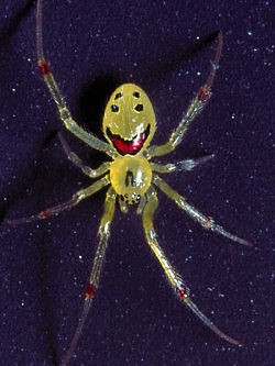 This is a real spider. It's called a Smiling Spider or Spider Cat. Unfortunately, it was not the one spotted in Albion yesterday, because it only lives in the forests of Hawaii. - IMAGE VIA