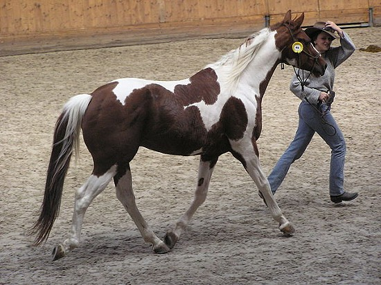 The stable owns paint horses like this one. - VIA WIKIMEDIA COMMONS