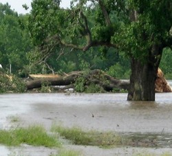 Destroyed champion tree at Columbia Bottom. - MISSOURI DEPARTMENT OF CONSERVATION