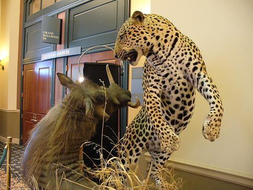 warthogvsleopard.jpg