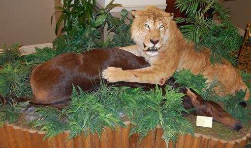 A lion's feast. View more photos.