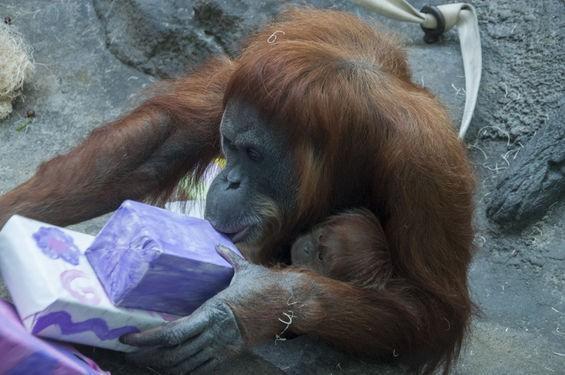 orangutanwpresents_michausher.jpg