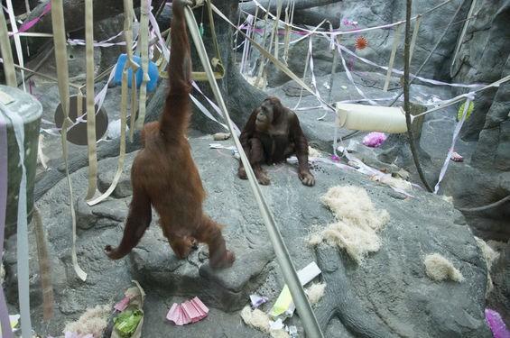 orangutanhangaround_michausher.jpg