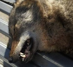 Dead wolf. Big photo below. - COURTESY MISSOURI DEPARTMENT OF CONSERVATION