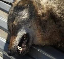 Dead wolf. Big photo below. - COURTESY MISSOURI DEPARTMENT OF CONSERVATION