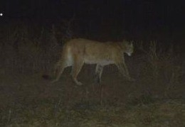 This big ol' cat prowled through DeKalb County on 12-12-12 - MISSOURI DEPARTMENT OF CONSERVATION