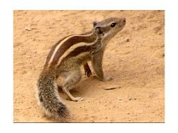 The latest candidate for Rally Squirrel, in tiger stripes. - IMAGE VIA