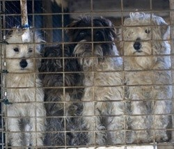 Missouri puppy mill. - MIKE BIZELLI VIA