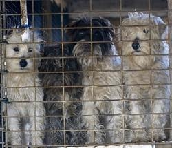 Missouri puppy mill. - MIKE BIZELLI VIA