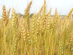 America: For amber shades of (genetically modified, drought-resistant) grain.