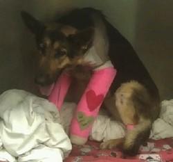 "Lindey, Kansas City's ""miracle dog"" - MISSOURI GERMAN SHEPHERD RESCUE"