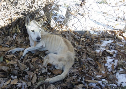 Francis, the Shephard mix rescued from the cold, died during surgery this week. - STRAY RESCUE
