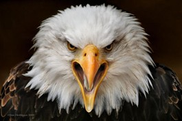 This eagle is out for revenge. - IMAGE SOURCE