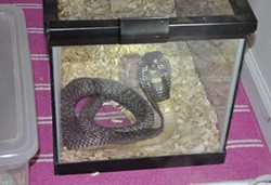 An oh-so-cuddly cobra was part of Brandon Boyles' menagerie.