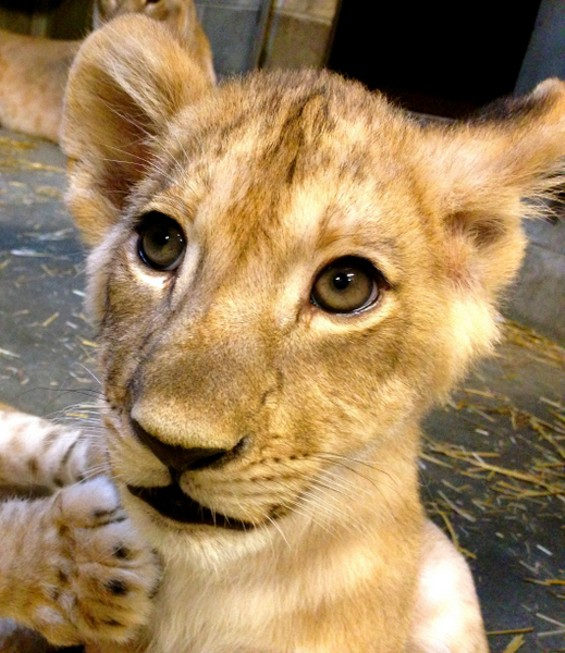 "Huruma, named after the Swahili word for ""compassion"" in honor of St. Louis zookeeper Becky Wanner. - WENDY RICE"