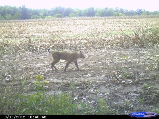 Bobcat_on_Deer_Cam2_560.jpg
