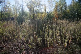 All that's left of this enormous housing project are weeds and forest. - IMAGE VIA