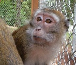 A Java macaque monkey like this one allegedly bit a boy yesterday. - VIA