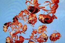 Red Imported Fire Ants have been found in Missouri. This is bad news for farmers. - UNIVERSITY OF MISSOURI