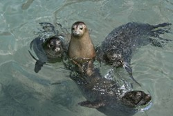 Harbor Seals in their habitat at Storybook Gardens. - COURTESY STORYBOOK GARDENS