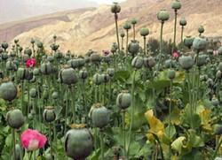 A poppy field in Afghanistan. - DAVRIC/WIKIMEDIA