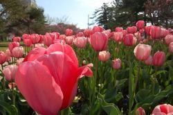 Tulip bonanza! - PHOTO BY NICHOLAS PHILLIPS