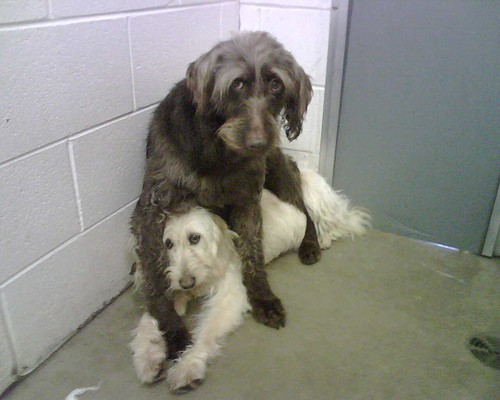 Two dogs rescued from a puppy mill. - FLICKR.COM/PHOTOS/CHEEZYLU