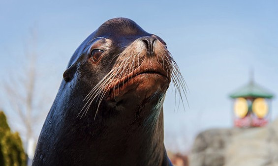 Bennie the sea lion. - PHOTO BY ROGER BRANDT/SAINT LOUIS ZOO