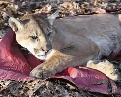 A Missouri trapper caught this 122-pound cougar last month. - DEPT. OF CONSERVATION
