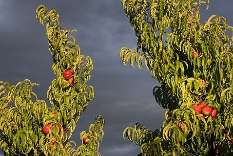 peach_tree.jpg