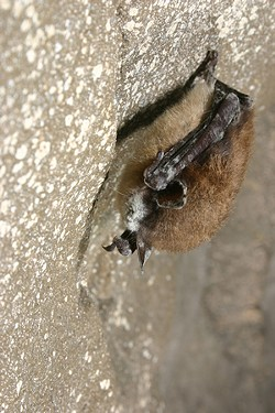 Little brown bat with White-Nose Syndrome. - AL HICKS, NY DEPT. OF ENVIROMENTAL CONSERVATION