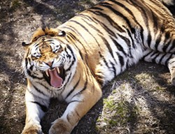 Auburn's Tiger mascot is down for the count. - AUBURN ALUMNI ON FLICKR