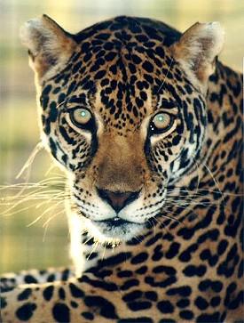 Up yours, Jaguar!