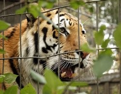 Mizzou Tigers -- like this kitty -- are on the outside looking in.