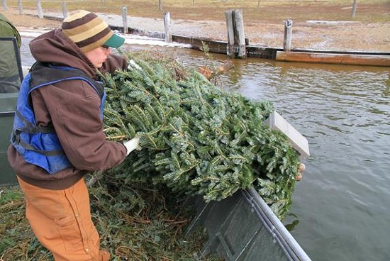 Missouri Department of Conservation Fisheries staff sink leftover Christmas trees into Creve Coeur Park Lake using cement blocks. Fish will use the recycled trees for habitat. - MDC