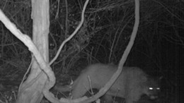 A trail camera caught this image January 12. - MISSOURI DEPARTMENT OF CONSERVATION