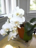 Who you callin' moth orchid? That's phalaenopsis to you, buddy.