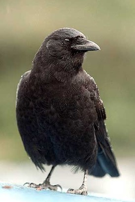 Corvus brachyrhynchos, also known as the American Crow. I hear they're delicious broiled.