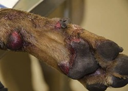 Brownie's paw after he was torched. - VIA STRAYRESCUE.ORG