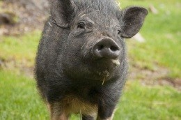 A pot-bellied pig like this was finally shot in Fairview Heights on Sunday - IMAGE VIA