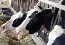 The app aims to prevent heat stress, like these cows are experiencing. - BANITO22 VIA YOUTUBE