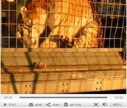 PETA's video shows a tiger with his paw trapped under the bars of his cage at the UniverSoul Circus.