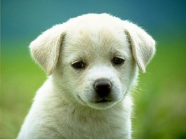 A puppy, upon being informed of Prop B's possible repeal. - IMAGE VIA