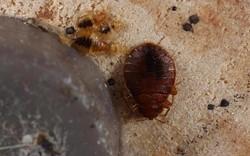An adult bedbug with several nymphs hiding under a recliner. - GARY ALPERT, HARVARD UNIVERSITY, BUGWOOD.ORG