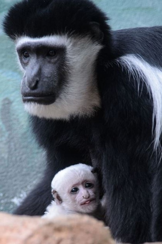 A baby monkey born at the Saint Louis Zoo. - PHOTOS BY RAY MEIBAUM/SAINT LOUIS ZOO