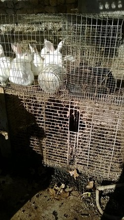 Feces piled below crammed rabbit cages