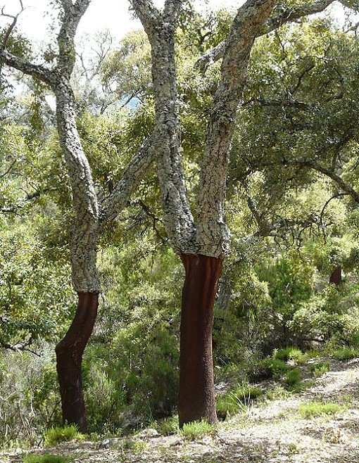 "Cork trees, plotting which bottle to taint next. - USER ""WAVERING,"" WIKIMEDIA COMMONS"