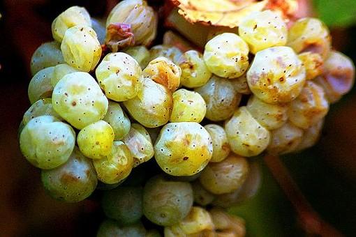 Grüner veltliner grapes on the vine. - DANIEL WEBER, WIKIMEDIA COMMONS