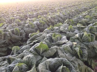A field of frozen romaine lettuce, Yuma, Arizona, January 2013. - IMAGE COURTESY OF DIERBERGS